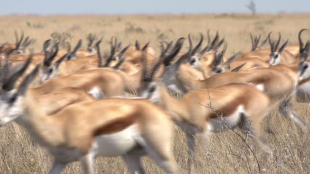 Springbock antelope Herde