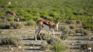 Springbok feeding on succulent grasses