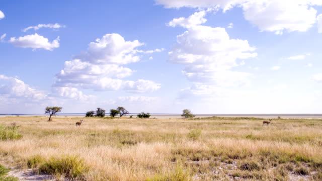 WS antilope saltante gazzelle In namibiano Savannah