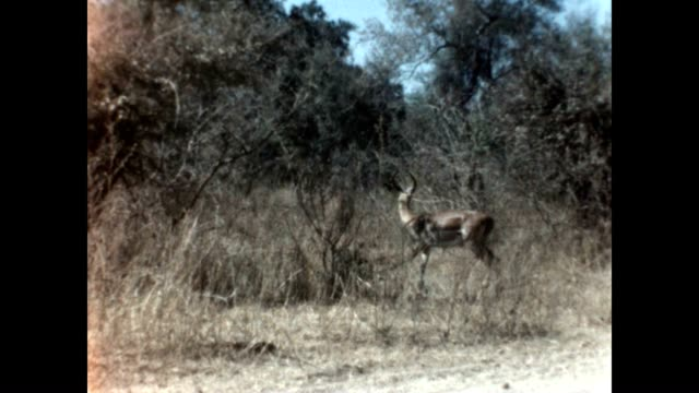 A Springbok greater kudu and Lion inhabit the same space in Kruger National Park in the 1960's