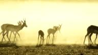 Springbok herd at dawn