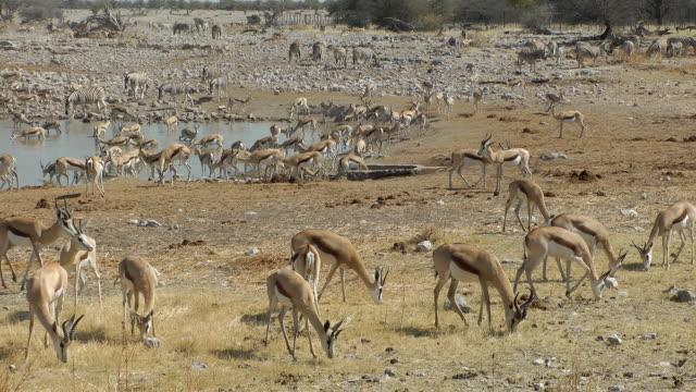 Antilope saltante