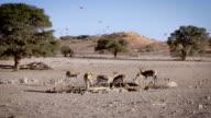 Springboks and Birds at waterhole, SlowMotion