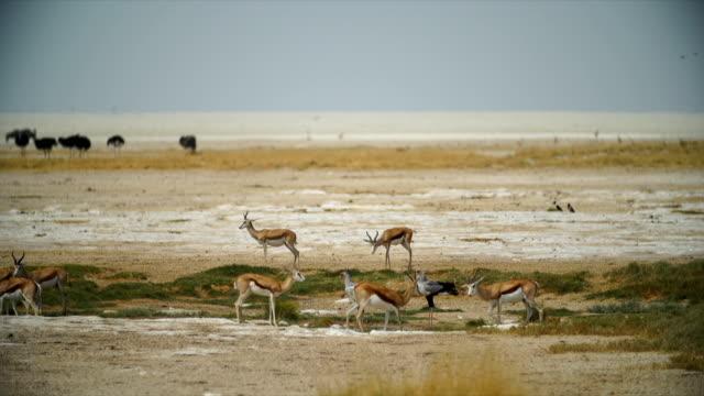 WS Springboks and Secretarybirds in savannah / Namibia