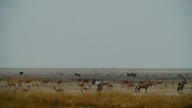 WS Springboks; Gemsboks and lions near waterhole / Namibia