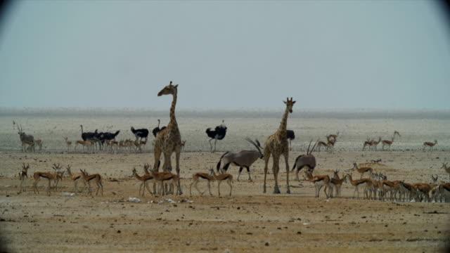 WS Springboks; Gemsboks; Ostriches; giraffes in savannah / Namibia