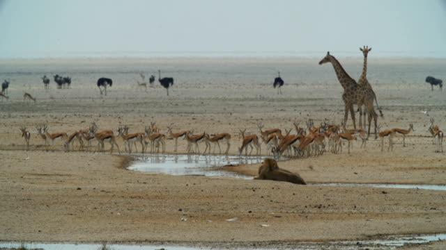 WS Springboks; giraffes; Ostriches and lions near waterhole / Namibia