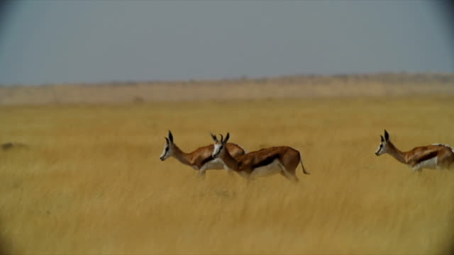 PAN WS Springboks walking in savannah / Namibia
