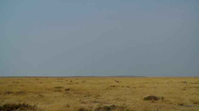 WS Springboks walking in savannah / Namibia