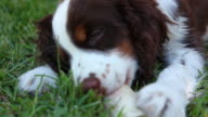 A Springer Spaniel puppy chews on a treat. Available in HD.
