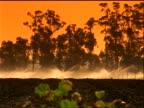 Sprinklers irrigating field / eucalyptus trees in background / Oxnard, California / orange filter