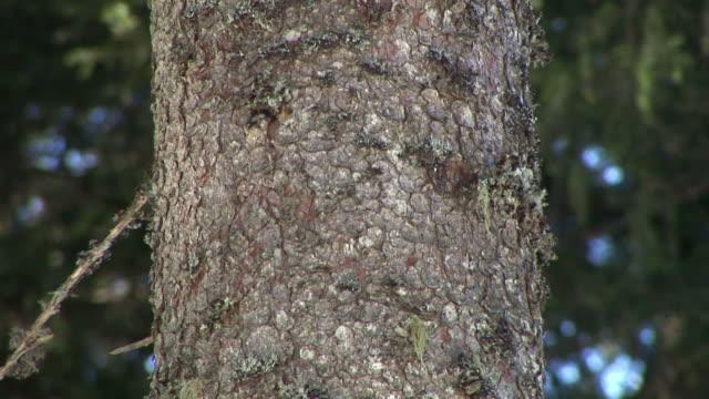HD: Spruce stem