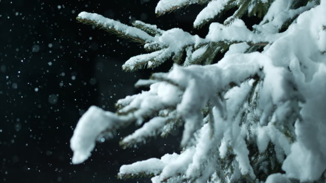 SLO MO Spruce tree covered with snow at night