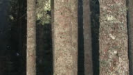 HD: Spruce tree stems