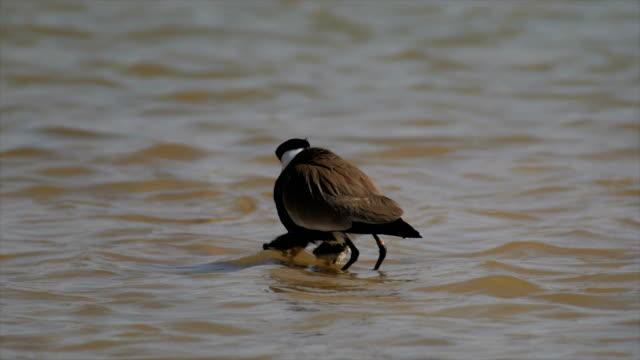 spur winged plover (Vanellus spinosus) Adult with chicks