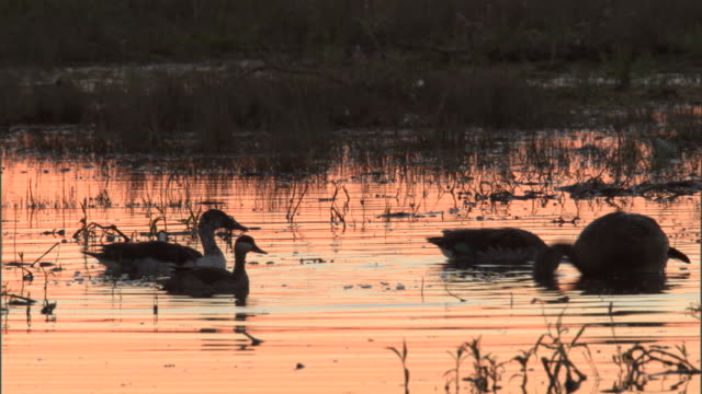 Spur-winged geese and a red-billed duck feed in a marsh as the sun sets.