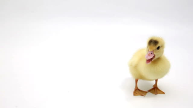 Squeaking Duckling