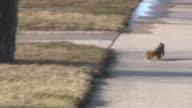 Squirrel 1 - HD 1080/60i