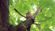 Squirrel eating a nut sitting on the maple tree