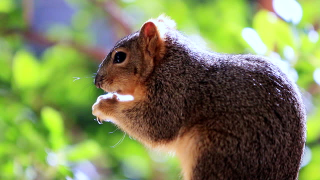 Squirrel Eating Nuts in the Woods