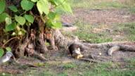 Squirrel eating orange under the tree.