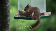 MS Squirrel eating seeds from hanging bird feeder / Kitchener, Ontario, Canada