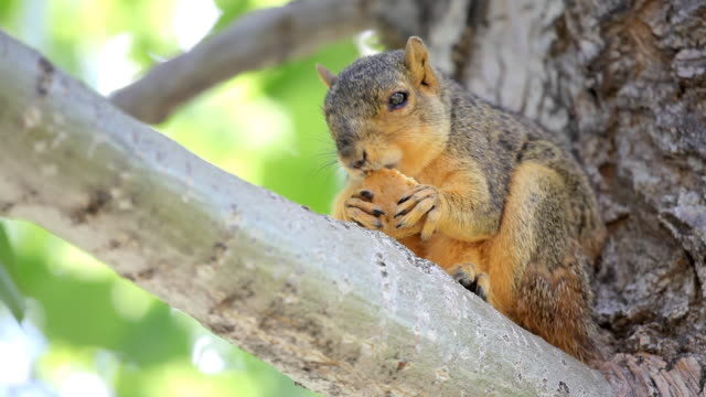 HD squirrel in a tree eating