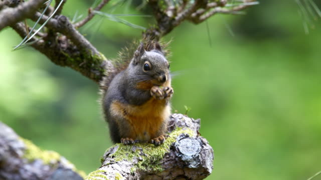 HD squirrel on branch eating nut