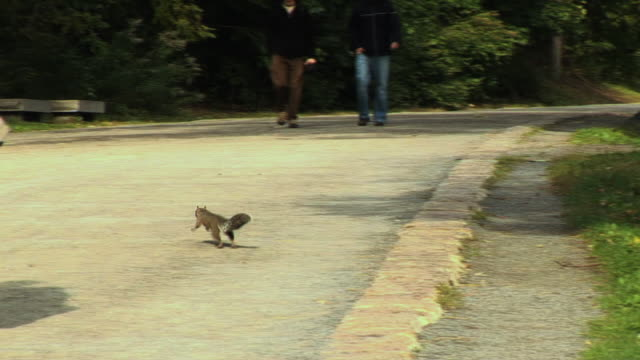 MS TS Squirrel running across park, Montreal, Quebec, Canada