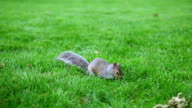 Squirrel scratching, searching and eating on the green glade