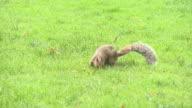 HD: Squirrel