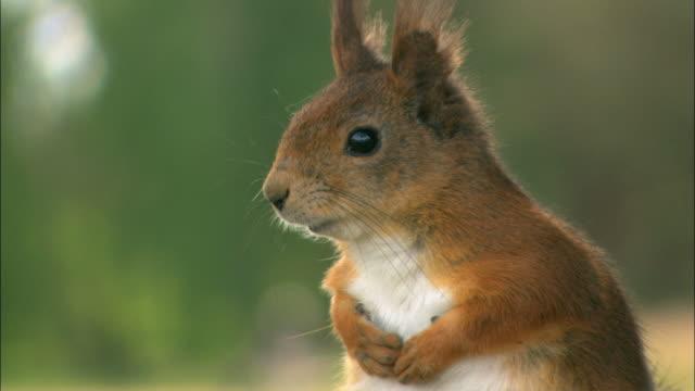 CU Squirrel / Visby, När, Ljugarn, Gotland, Sweden