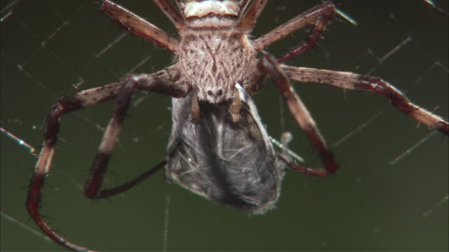 ECU St. Andrew's Cross spider hanging from web and wrapping prey in cocoon / Melbourne, Victoria, Australia