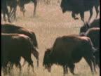 Stampeding herd of bison, South Dakota