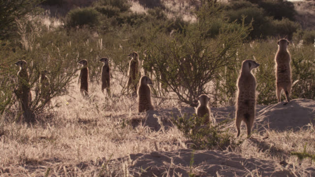 Standing meerkat (Suricata suricatta) sentries peer around in desert, South Africa