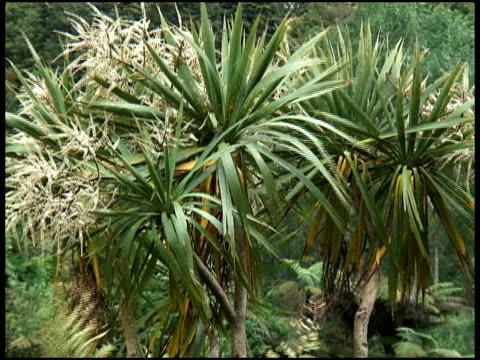 Standing Proud: Cabbage Palm Tree, Cordyline Australis Plant, Flora