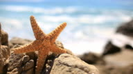 Star Fish  - HD Video