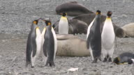 Stare-Down of King Penguins among Elephant Seal / South Georgia Island, Sub-Antarctic Region , British Territory, Antarctica
