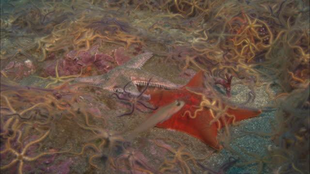 Starfish and brittle stars (Ophiurida) on sea bed, California, USA