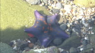 Starfish In Shallow Water