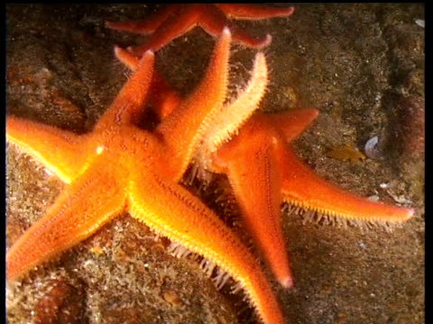 Starfish interlock arms on fjord bed, Norway