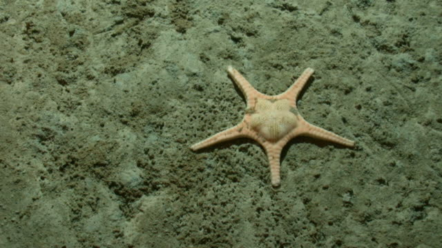A starfish rests on a barren seabed. Available in HD.