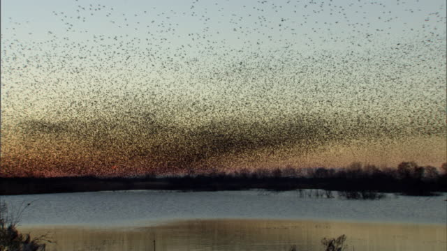 Starling flock in flight