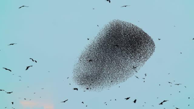 Starlings flight