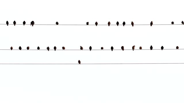 Starlings, Sturnus vulgaris, sit on power line