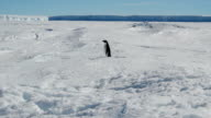 MS static Adélie penguin surrounded by snow and ice shelf in the distance, Antarctica