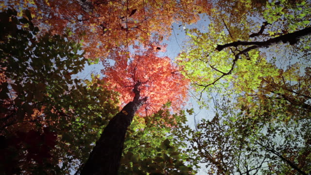 Static shot of colorful treetops with falling leaves in autumn in White Mountain National Forest