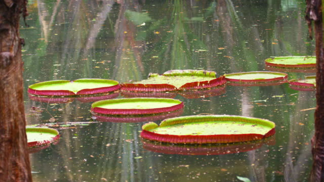 Static shot of lily pads floating in botanical garden in Rio, Brazil.