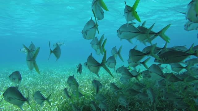 Steadicam pan, school of Horse-Eye jack fish