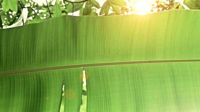 Steadycam: banana leaf in the jungle